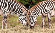 Grants Zebras Head To Head Eating