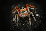 Saitis barbipes Jumping Spider