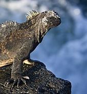 Marine Iguana (Amblyrynchus cristatus)