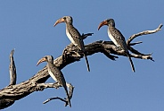 Red-billed Hornbills - Botswana
