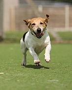 Jack Russell Terrier Running