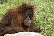 Juvenile Sumatran Orangutan Close Up