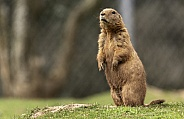 Black Tailed Prairie Marmot Standing Upright