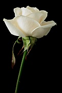 Cream Coloured Rose