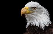 Bald Eagle Black Background