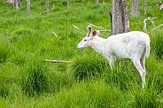 Albino White-tailed Deer