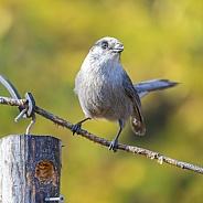 Gray Jay or Canada Jay