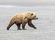 Boar male bear walking on the beach