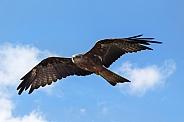 Flying Black Kite, Sky Background