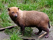 South American Bush Dog