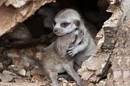 Meerkat Loving
