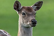 Persian Fallow Deer close up