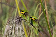 Little Bee-Eaters - Okavango Delta in Botswana
