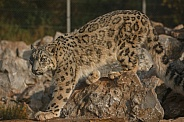 Snow Leopard Walking On Rocks