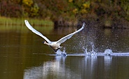 Trumpeter Swan Taking Off in Alaska