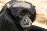 Siamang Gibbon Face Shot Close Up