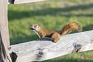 American red squirrel in Alaska