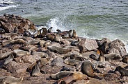 Cap Fur Seals - Cape Cross - Namibia