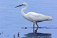 Great White Egret (breeding colour)