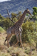 Giraffe in the Bush