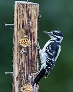 Hairy Woodpecker Eating Peanut Butter in Alaska