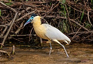 Capped Heron Catches Lunch