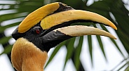 The great hornbill (Buceros bicornis)