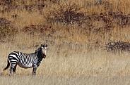 The rare Hartmann's Mountain Zebra