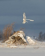 Female Snowy Owl Taking Off