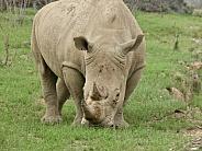 South African White Rhino