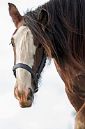 Shire Horse - close up