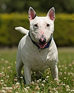 English Bull Terrier Portrait
