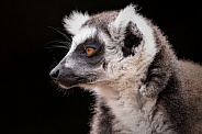 Ring Tailed Lemur Side Profile Black Background