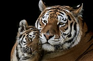Amur Tiger with cub - Close Up