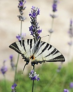 Scarce Swallotail