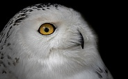 Snowy Owl Close Up Side Profile Black Background