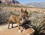 Bridle bull terrier dog posing in the NV Desert