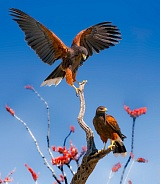 Harris Hawks on Ocotillo Flowers