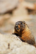 Yellow Bellied Marmot