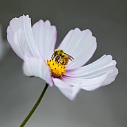 Honey Bee Gathering Pollen On A Cosmos Flower