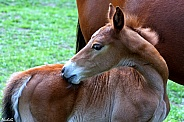 Itch To Scratch- Australian Stock Horse Foal