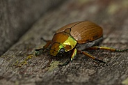 Christmas beetle.
