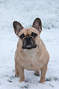 Fawn French Bulldog Standing
