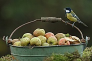 The great tit (Parus major)
