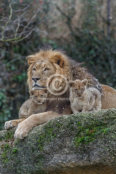 African Lion and Cubs