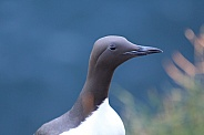Guillemot/Common Murre