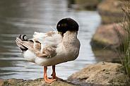 Duck preening (wild).
