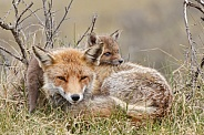 Red fox and cubs