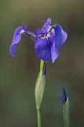 Wild Iris in Alaska