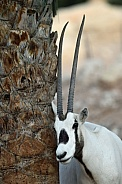 Arabian Oryx at Al Ain Zoo. UAE